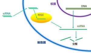 受託<エーセル>siRNAによる遺伝子ノックダウン試験